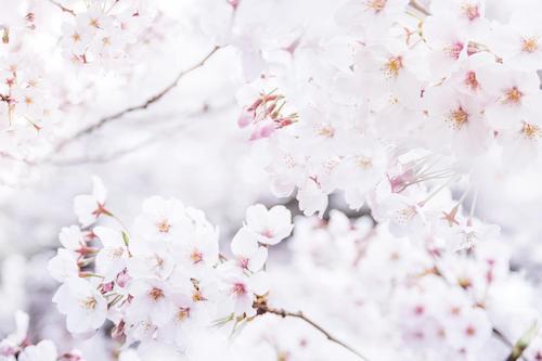春真っ盛りの桜